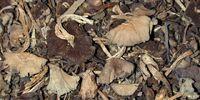 Djon djon mushroom