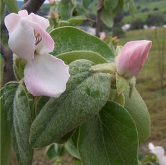 File:Quince.jpg