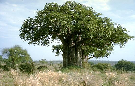 File:Baobab.jpg