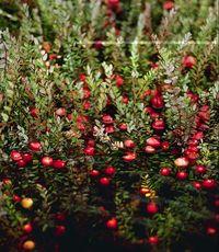 File:Cranberry.jpg