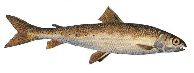 File:Round whitefish.jpg