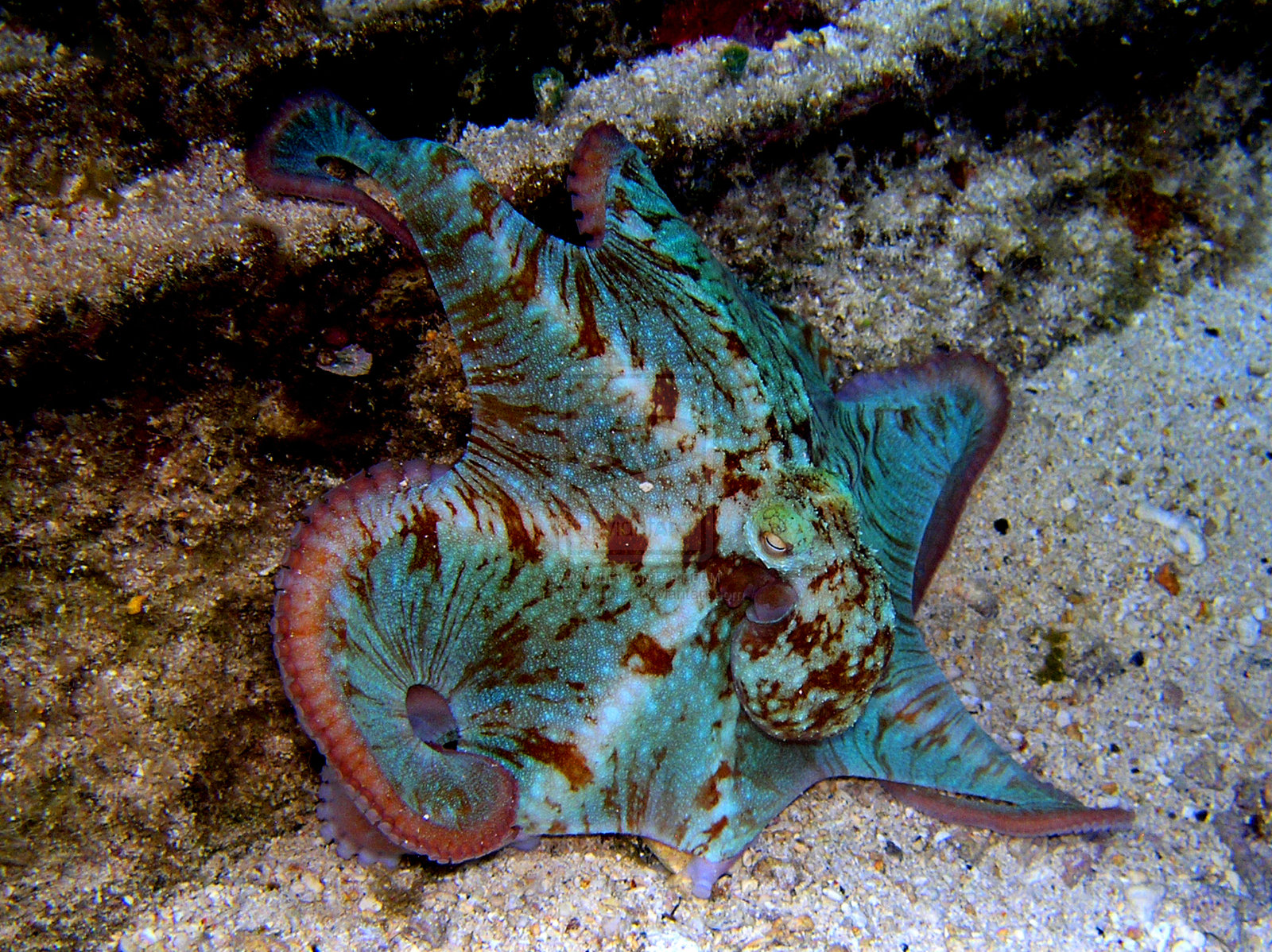 Caribbean Reef Octopuses | RectorianPetCare Wikia | FANDOM powered ...