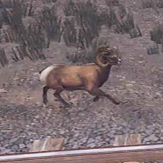 File:Bighorn-02.jpg