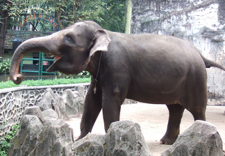 Elefante de sumatra 1.png