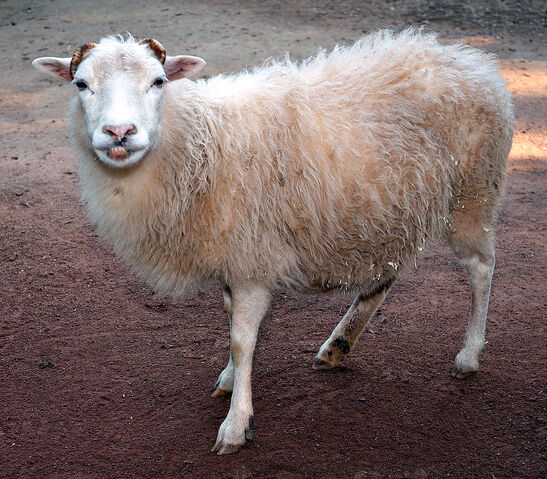 File:SkuddeSheep.jpg