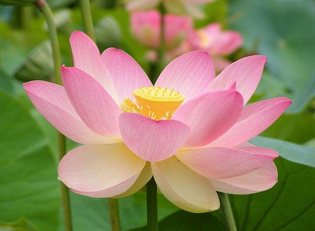 File:Nelumno nucifera open flower - botanic garden adelaide2.jpg