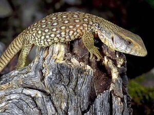 Savannah Monitor Lizard