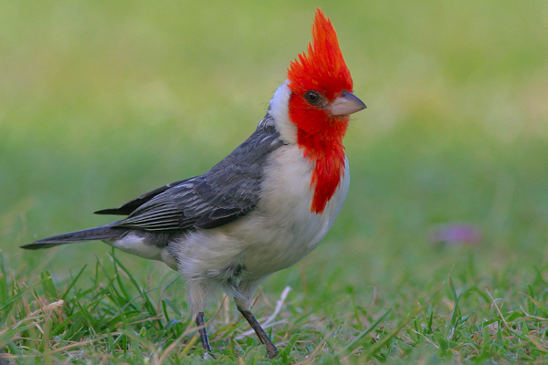File:Red-crested cardinal.jpg