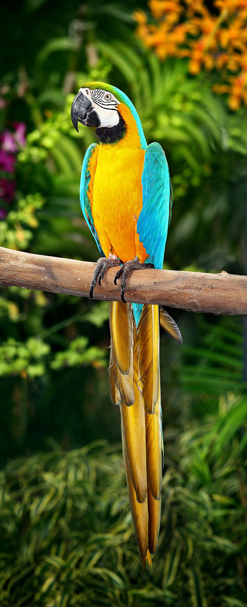 Blue macaws in rio - photo#8