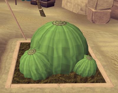 Potato cactus7