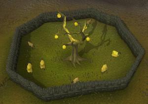 Golden Apple tree old