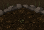 Pineapple plant 1