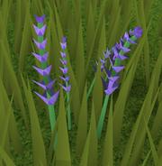 Lavender (plant)