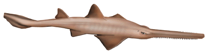File:Sawfish.png