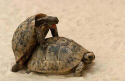 Turtle-sex