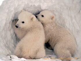 Polar bears are cute-1280x960