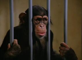 Innocent Primate