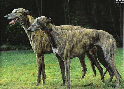 File:2Greyhounds.jpg
