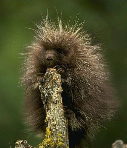 File:Porcupine.jpeg