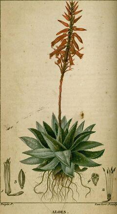 Aloes1.jpg
