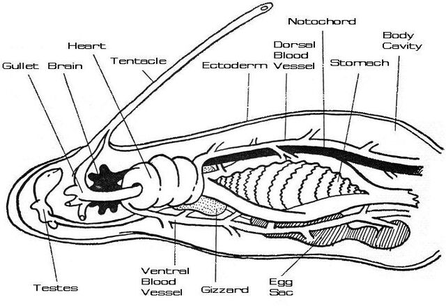 File:Regulani vermis physiology.jpg