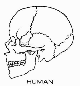 File:Human skull diagram.jpg