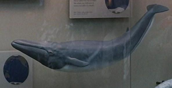 File:Fin whale.jpg