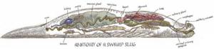 Swamp slug anatomy