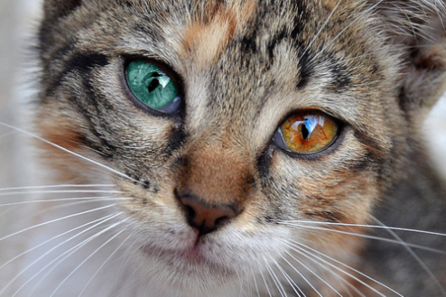 Multi Colored Cats Cat-multi-colored-eyes-closeup