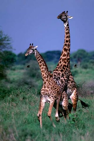 File:Giraffes.jpg
