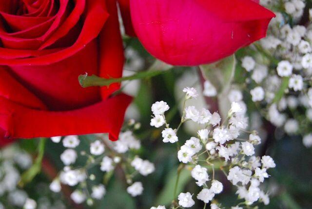 File:Rose-448.jpg