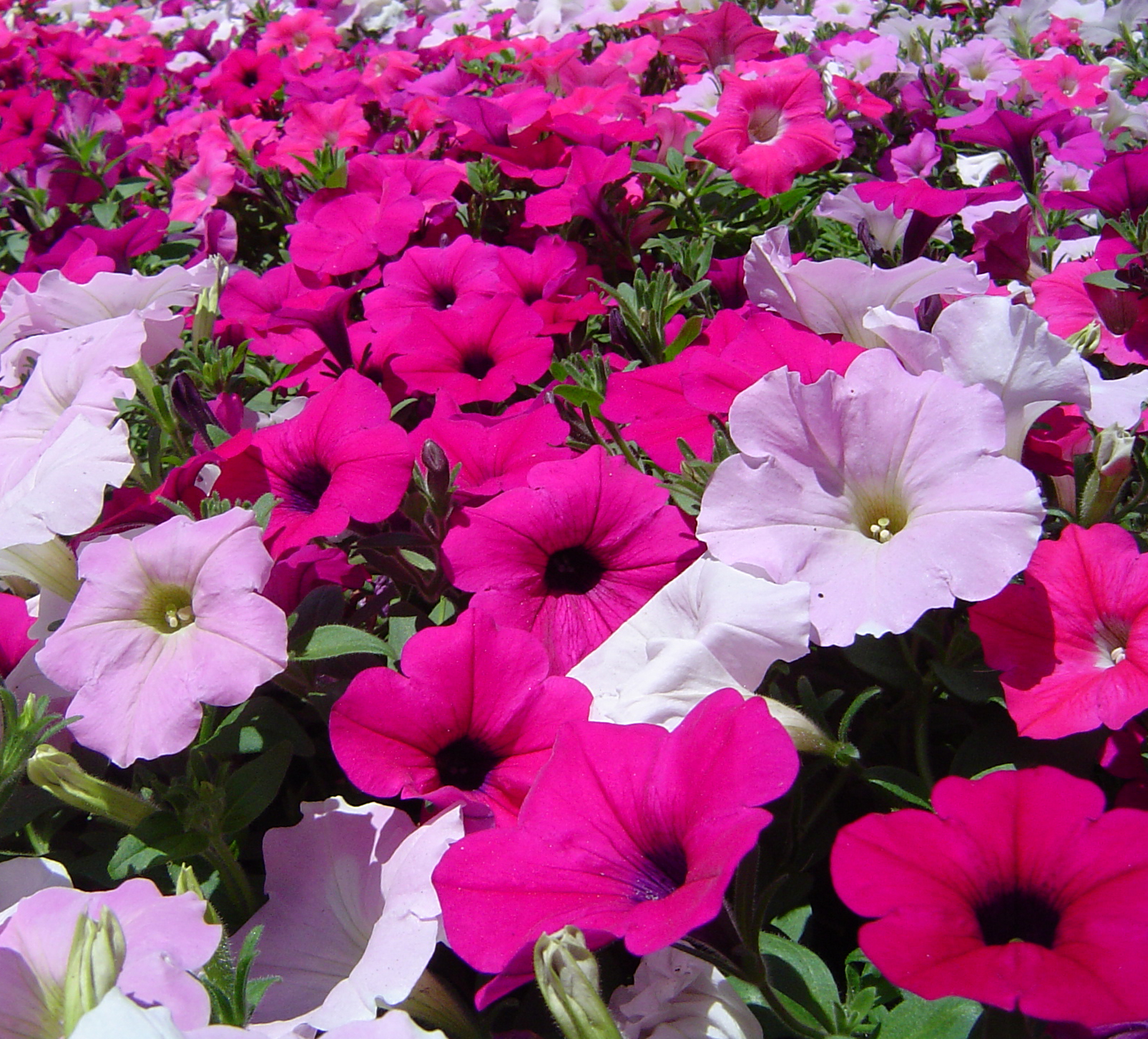 petunia  symbolism wiki  fandom powered by wikia, Natural flower