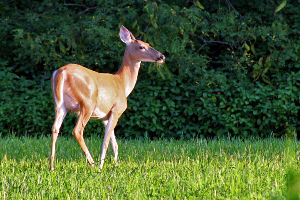 Deer-in-the-sun  Deer