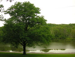 Oak Tree and lake-6376