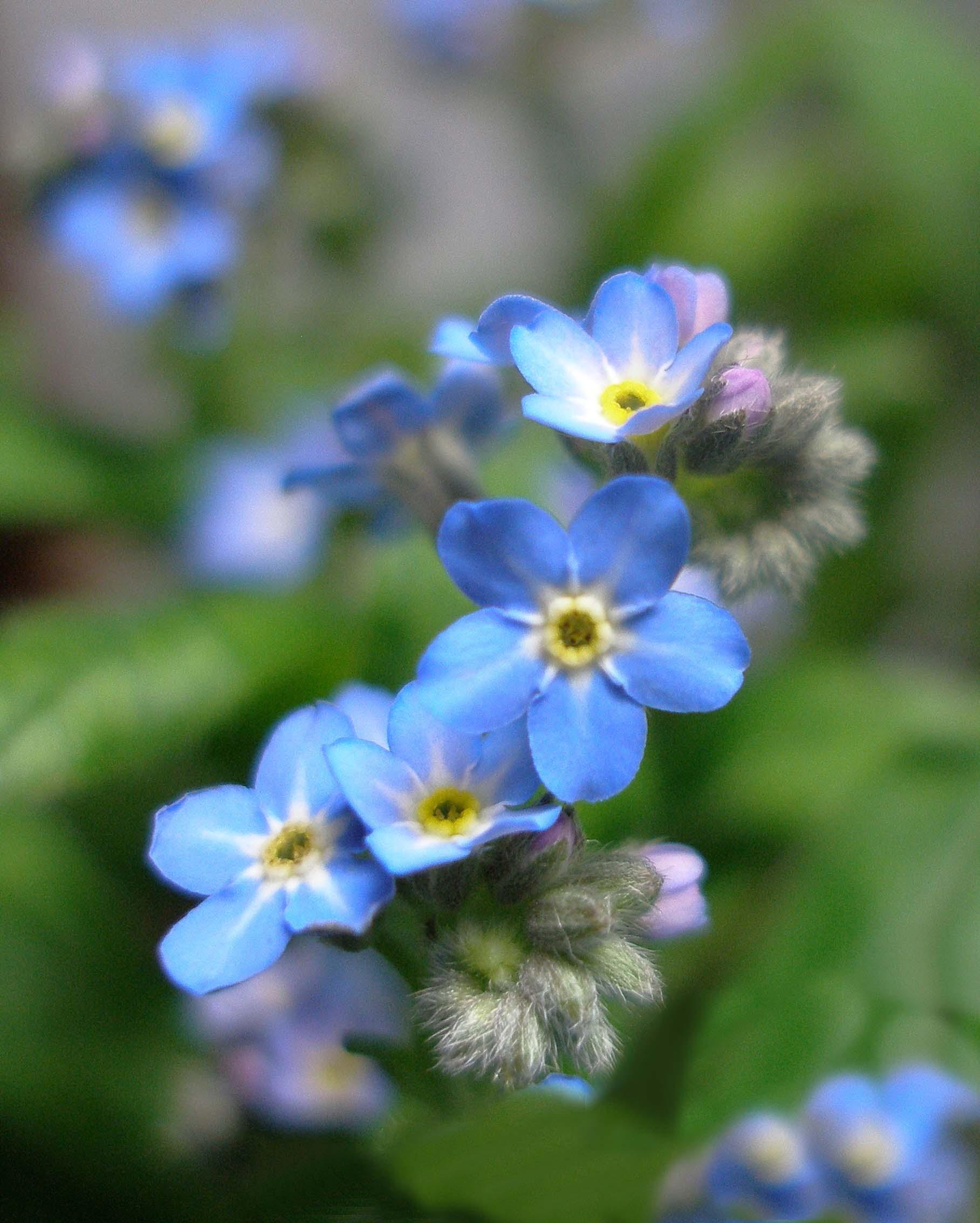 forgetmenot  symbolism wiki  fandom powered by wikia, Natural flower