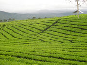Mount-dempo-tea-plantation