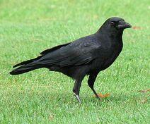 American crow 8-1