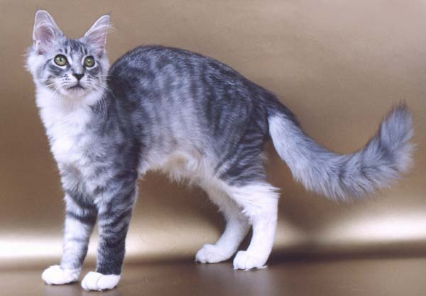 Image result for silver cat