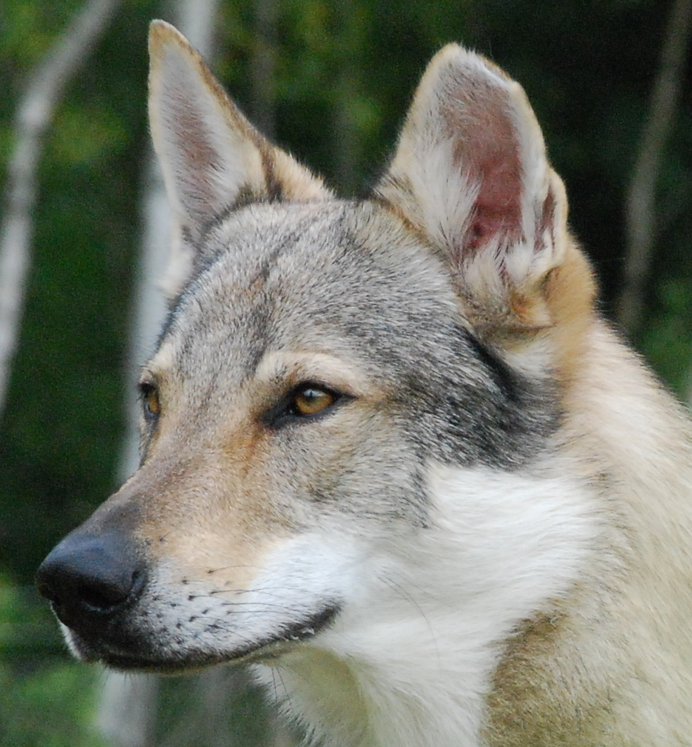 Czechoslovakian Wolfdog Poochpedia Fandom Powered By Wikia