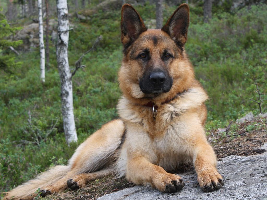 German Shepherd | Poochpedia | Fandom powered by Wikia