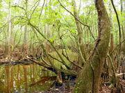 Florida-swamp-land-i-sheri-mcleroy