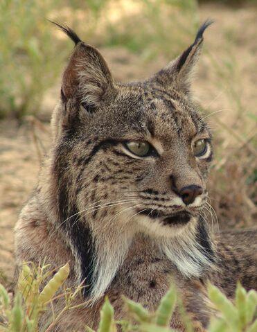 File:Lynx-pardina3.jpg