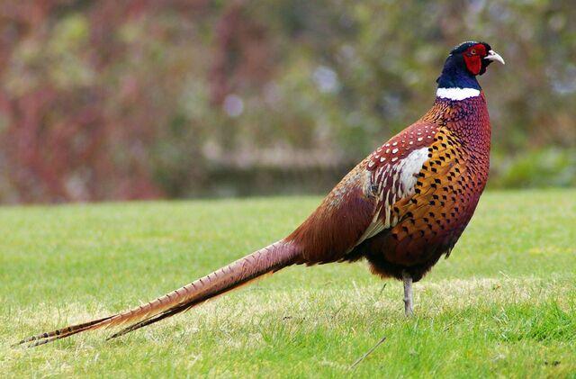 File:Pheasant.jpg