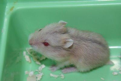 File:Hamster1.jpg