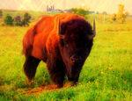 Bison Mutt 2