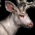 Blacktail deer male albino