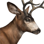 Blacktail deer male common
