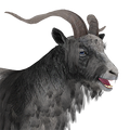 Feral goat male piebbald black