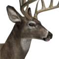 Whitetail deer male common