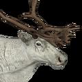 Reindeer male leucistic